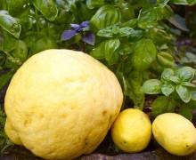 Cedro e limoni1