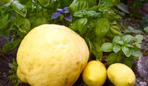 factory authentic large discount check out Tutto quello che sai sul limone è… poco – ilrestomancia