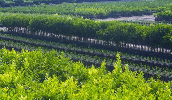Agrumi piantagione