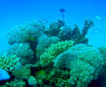 Coralli verdi