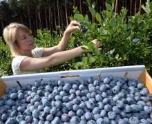 epa03790625 Claudia Ehrlich harvest blueberries in a field near Klaistow, Germany, 17July 2013. Last year, 288 tons of blueberries were harvested in Brandenburg.  EPA/RALFHIRSCHBERGER