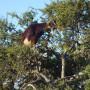 Capra su albero argan1