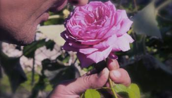 donare una rosa
