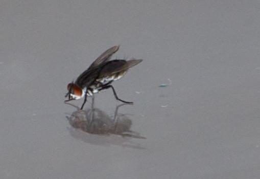 mosca vanitosa foto piccola
