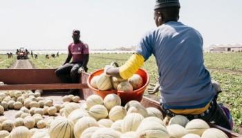 22-Meloni-verso-il-magazzino-di-stoccaggio-e-lavorazione-702x336