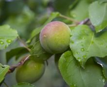 Albicocche verdi