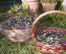 raccolta olive1