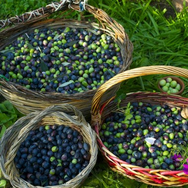 Raccolta olive2