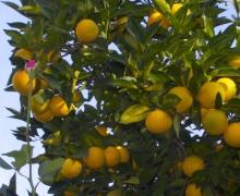 arance1