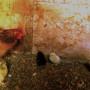 Gallina con pulcini