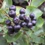 800px-Aronia_berries